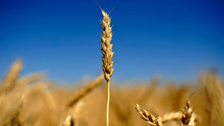 An ear of wheat is seen on the Canadian prairies near Lethbridge, Alberta, September 7, 2011.